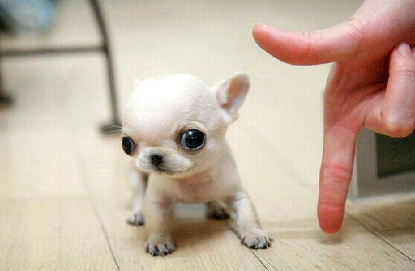 Cute tiny puppy  Pinned by Angel