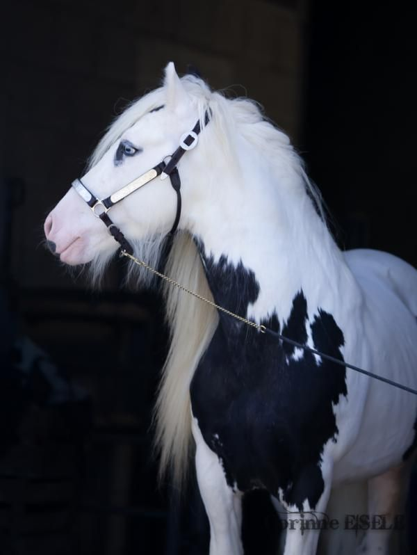 .Harness draft carriage horse equine Clydesdale Percheron Shire Hafflinger Gypsy Vanner Cob