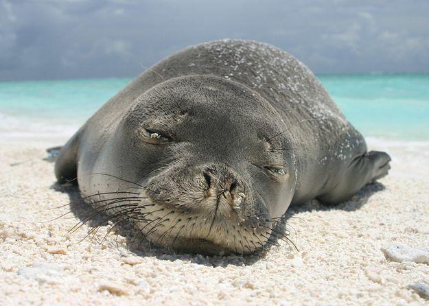 Monk seals on the Poipu beach, Kauai - http://www.gohawaii.com/en/kauai/regions-neighborhoods/south-shore/poipu-beach-park/