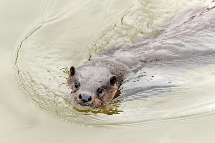 Otter antics in River Kent http://www.cumbriacrack.com/wp-content/uploads/2017/01/Otter_c_Amy_Lewis.jpg Cumbria Wildlife Trust has welcomed the return of otters to Kendal town centre, with a mother and cubs delighting passers-by    http://www.cumbriacrack.com/2017/01/20/otter-antics-river-kent/