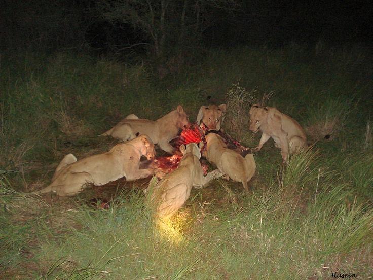 Lion Kill - Kruger National Park, South Africa