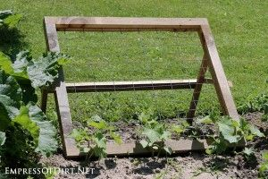 Squash plant growing in a tomato cage. Eventually it will outgrow the cage and trail along the ground. Building a trellis support will solve this problem.