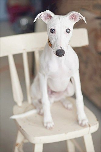 Such a soulful little face. #Whippet #dogs #photos