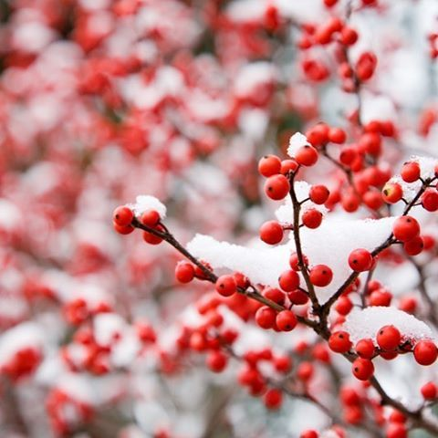 Blossom Clinic is closed today and will reopen Friday 12/16. We have acupuncture appointments available with Morgan tomorrow and with Janene on Saturday! The easiest way to schedule is through the Mindbody App. It's so easy! And we have lots of massage openings on Tue and Wed of next week! ❄️ ❄️ ❄️ ❄️ ❄️ ❄️ ❄️ #massage #acupuncture #portland #oregon #portlandmassage #portlandacupuncture #treatyoself #hawthorneberries #snow #winter2016 #mindbody