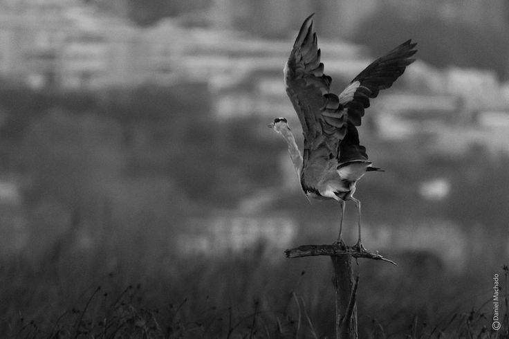 Garça-real Grey heron  #2016 #outubro #october #garçareal #greyheron #reservanaturalestuariodouro #bestbirdshots #takingoff #flying #bw #pt_bnw_captions #shooters_pt #nikonphotographer #naturephotography #birdphotography #avesdeportugal #birdsofportugal #natureshots #ig_discover_birdslife #ig_nature #nikonpt #nikond750 #igersportugal #igersporto #you_best_birds