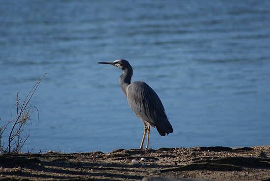 Grey Egret #grey, #egret, #bird, #water, #blue