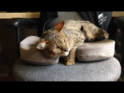 Savannah Cat Leo rescued by The Wildcat Sanctuary - YouTube