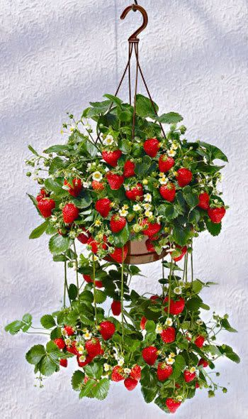 Strawberries in hanging pots. Maybe I'll try this next year.