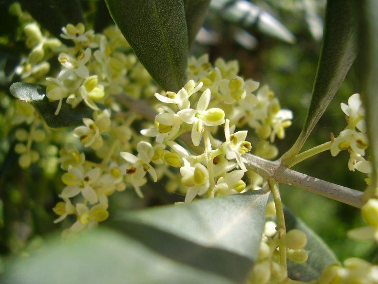 Olive para el cansancio