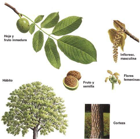 Las nueces son un producto de la naturaleza, para mi exquisito, y como me gustaría incluir un nogal en mi jardín, estoy investigando acerca de los cuidados y características de este árbol. En este primer post sobre el Nogal, veremos las principales características de este árbol frutal. El nombre vulgar o común es Nogal, Nocedo …