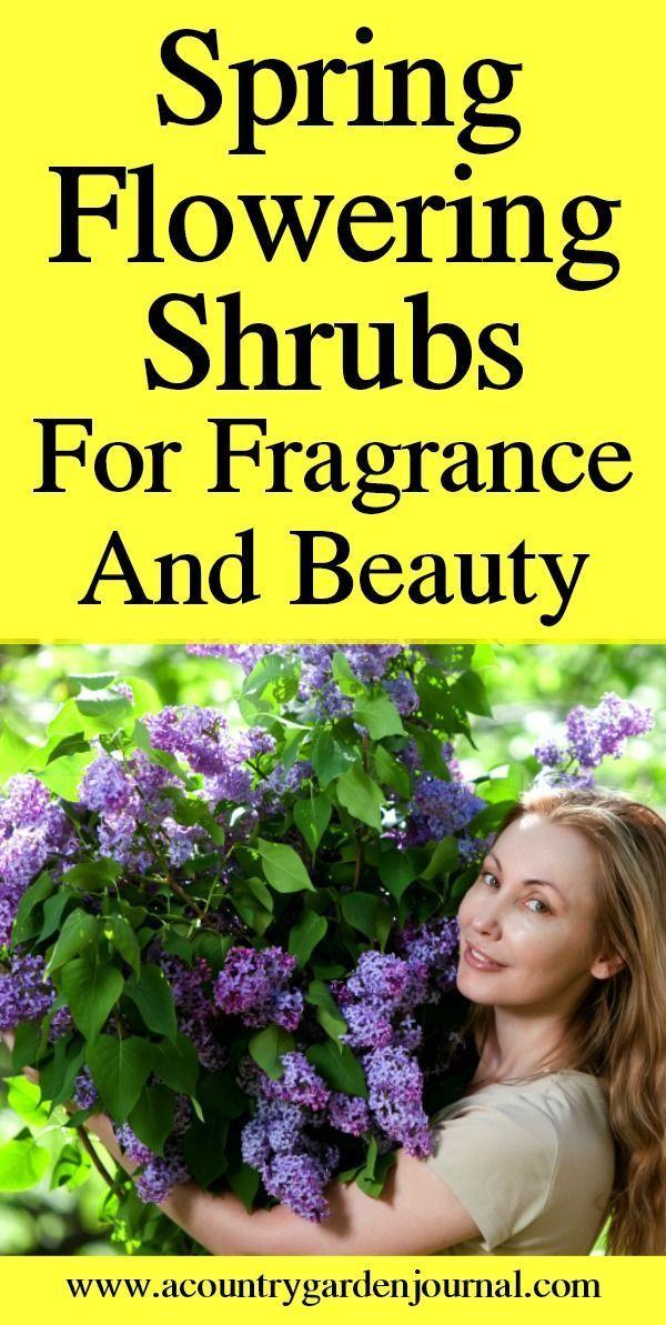 Spring Flowering Shrubs For Fragrance And Beauty Flowering Shrubs Shrubs Pruning Shrubs