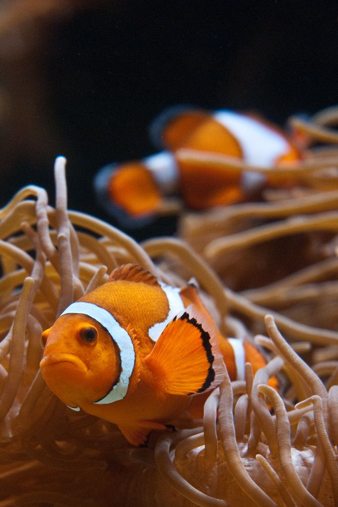 Clownfish : Orange and white, with black separation ...