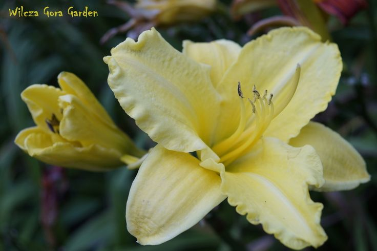 Wilcza Gora Garden - Hemerocallis, Daylily