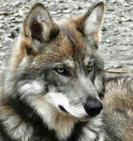 Intense...wolf.