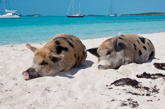 Wild swimming pigs from the Bahamas
