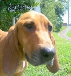 TENNESSEE ~ KATELIN is an #adoptable Bloodhound Dog in Blountville, TN. ...SBK Animal Center - Sullivan County, Bluff City, Kingsport Animal Control Center, Blountville, TN 423-279-2741 pinned 9/20 ~ RED BONE COONHOUND BLEND ~ NOT A BLOOD HOUND ~ TOO THIN