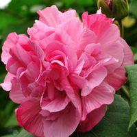 семена гибискуса, семена цветов Китай, растение в горшке, цветущие растения UNIDs-50 бесплатная доставка