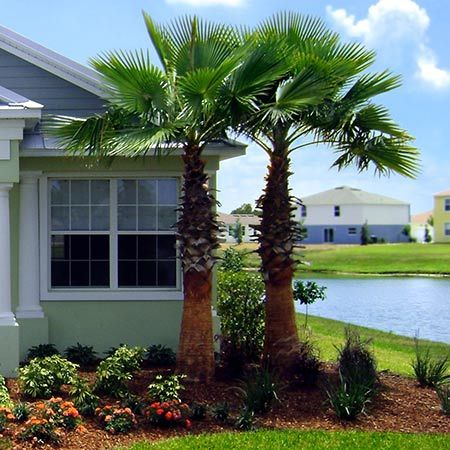 A Fast Growing Tropical Beauty - Mexican Fan Palms are for those who want a tall mature palm quickly. It will grow up to 5 feet a year to provide a tropical look in your yard in almost no time. Place it in your landscape and watch it quickly grow into the main attraction.  Often referred to as the 'Washington Palm', the Mexican...