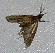 Indian Meal Moth Pantry Moths - Identify, Eradicate - http://apolloxpestcontrol.com/indian-meal-moth-pantry-moths/