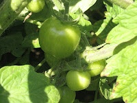 Waiting for the first hint of red... Mmmm fresh tomatoes. Soon... soon.