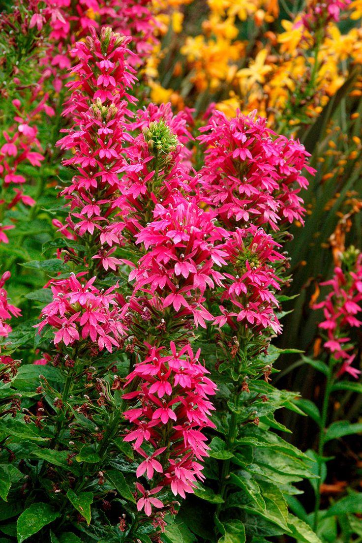 Lobelia 'Starship Deep Rose' - Lobelia × speciosa plants - Select Seeds