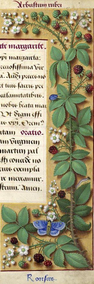 Ronsces - Arbustum rubri (Rubus fruticosus L, = ronce) -- Grandes Heures d'Anne de Bretagne, BNF, Ms Latin 9474, 1503-1508, f°206r