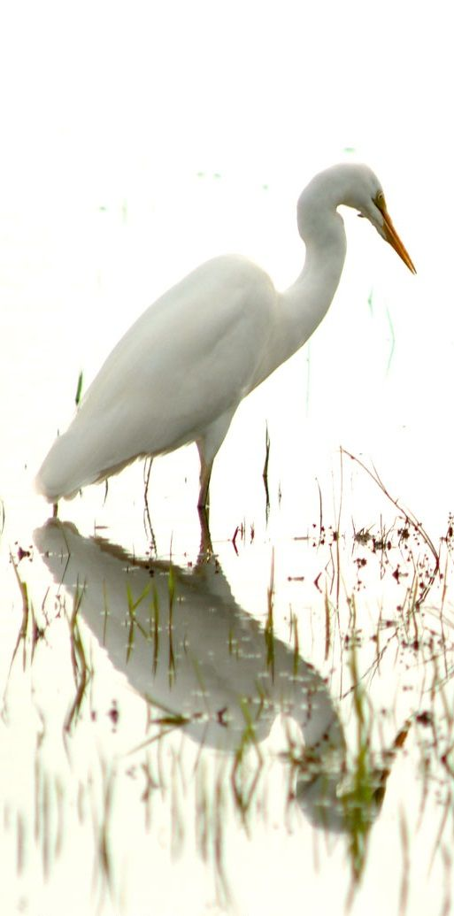 Kotuku White Heron - NZ