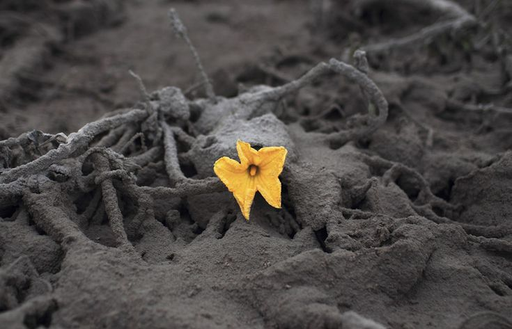 A flower, surrounded by ash from Mt Sinabung, near Sibintun village, on January 9, 2014. (Reuters/Beawiharta)