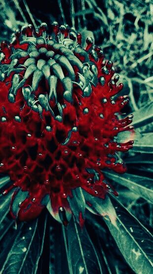 Waratah flower ... my way :)