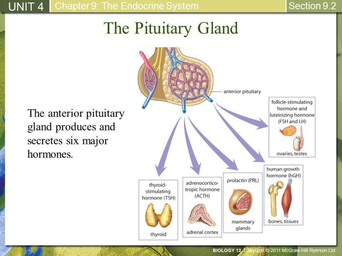 what are the 9 hormones of the pituitary gland