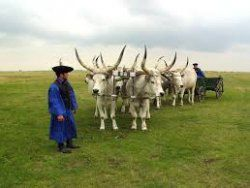 The grey cattle is an ancient animal in Hungary, http://bestbudapesttourguides.com/en/choose_a_guide-page-3/kecskemet-destination-52/ferencjoo-guide-80/horse_show_in_the_plain-tour-258/