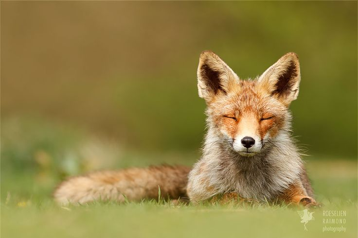 Zen Foxes: Photographer Documents Wild Foxes Enjoying Themselves | Bored Panda