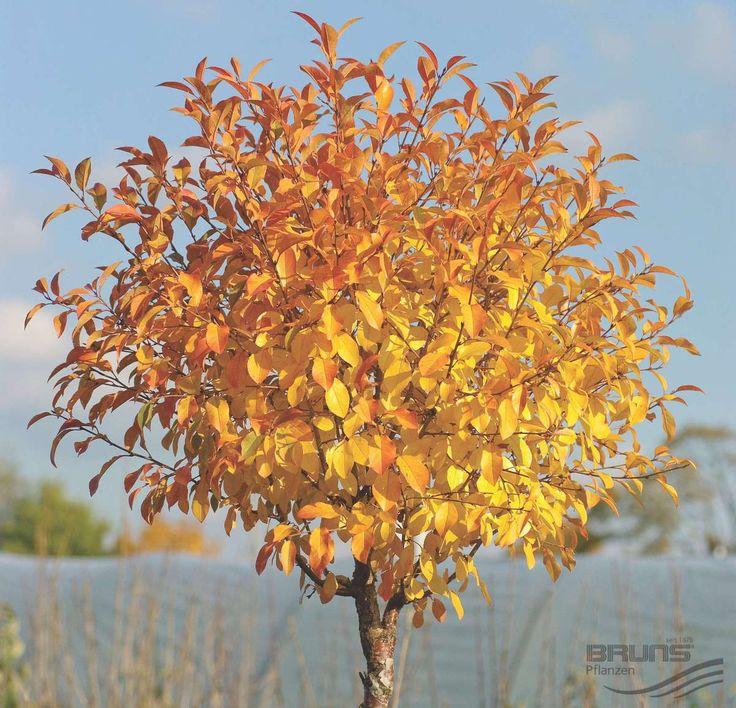 PRUNUS fruticosa 'Globosa', Kugel-Steppen-Kirsche | Pflanzen | null | Bruns-Website