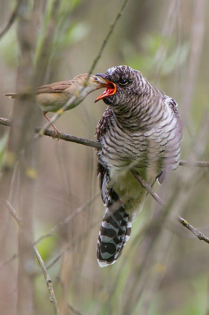 Koekoek - Cuculus canorusKleine - Cuckoo – Kuckuh - Coucou Karekiet - Acrocephalus scirpaceus - Reed Warbler -  Teichrohrsänger  -  Rousserolle effarvatte