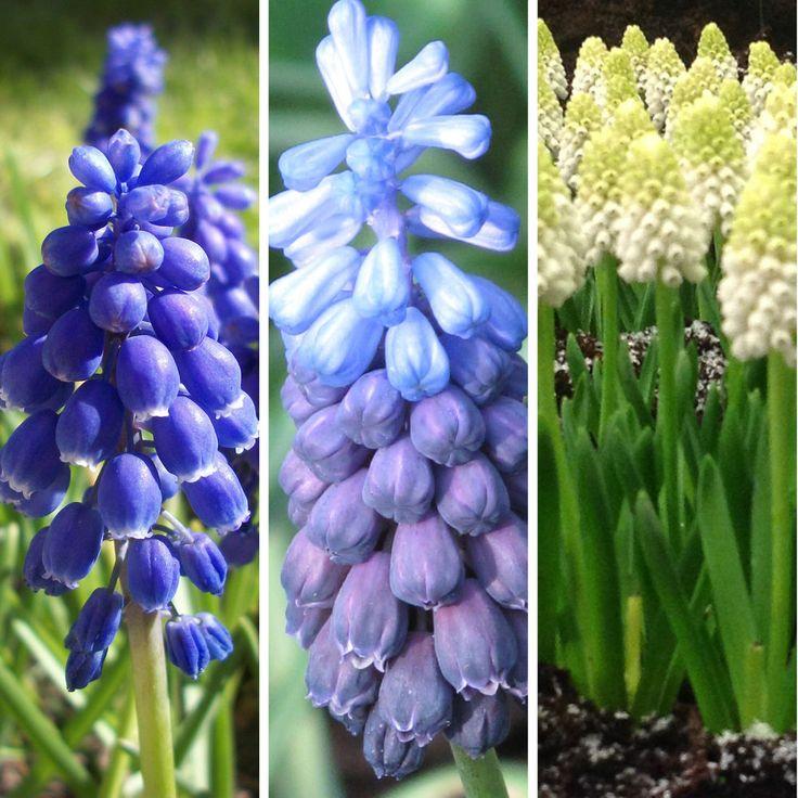 Muscari Grape Hyacinth Bulbs Perennial Spring Flowering Garden Bulbs