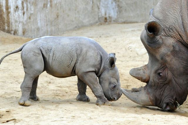 (PA) Baby Zoo Animals Around The World:  White rhino (This little rhino, named Male, was born in January. He's pictured here with his mother, Mana, at Magdeburg Zoo, Germany.)