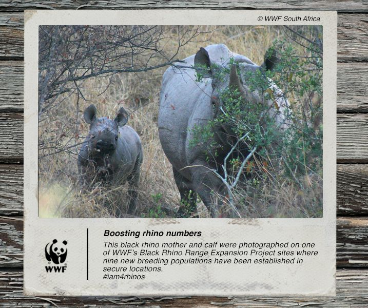 Our critically endangered black rhino need secure land where they can breed and thrive. This is what #BRREP provides. #iam4rhinos