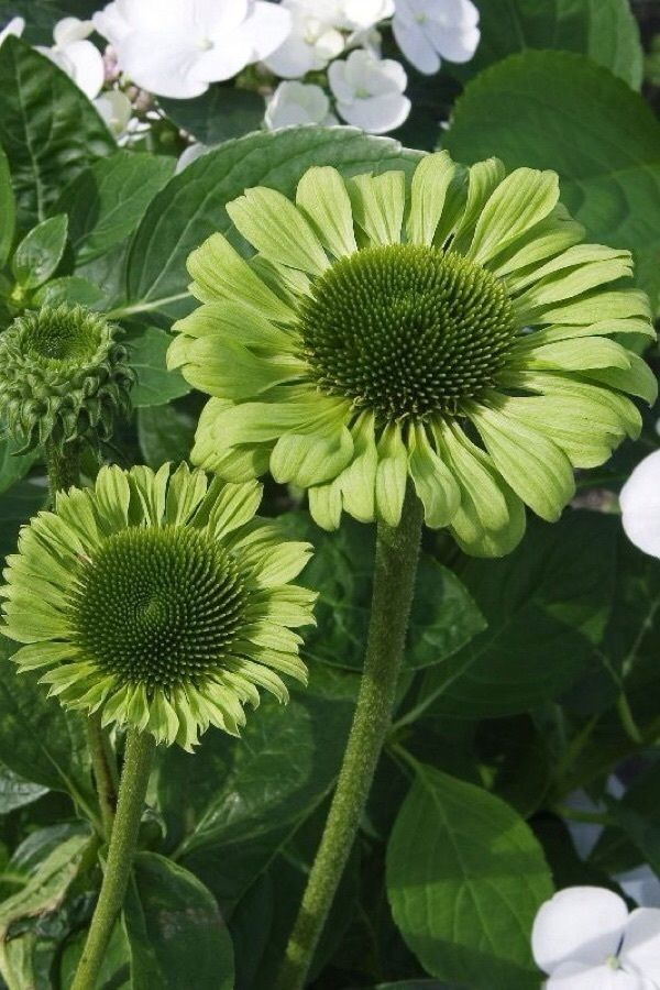 echinacea flower learn grow echinacea http www. Black Bedroom Furniture Sets. Home Design Ideas