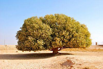 """Inilah pohon yang memahami cinta buat Nabinya Muhammad SAW ﺻﻠﻰ ﺍﻟﻠﻪ ﻋﻠﻴﻪ ﻭﺳﻠﻢ . Pohon yang diberkati.Sehingga sekarang pokok ini masih hidup lagi di Jordan. Sebab itu ianya digelar """"the only living sahabi"""" atau """"sahabat Nabi yang masih hidup"""".Sedikit sejarah mengenainya...Ketika Rasulullah ﺻﻠﻰ ﺍﻟﻠﻪ"""