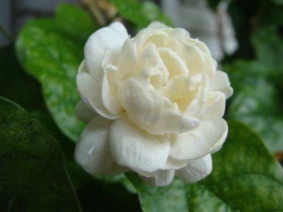 Jasmine Flower | Arabian jasmine flower.