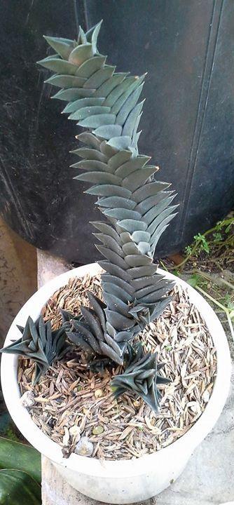 Succulent Plant Information: Haworthia viscosa spiralis form