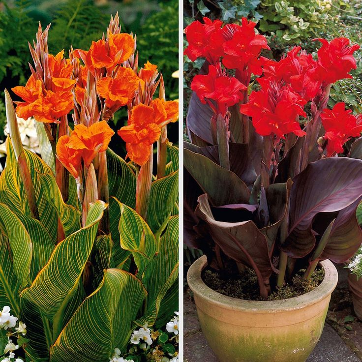 12 best images about dwarf cannas miniature iris on pinterest tropical pitchers sun and tropical. Black Bedroom Furniture Sets. Home Design Ideas
