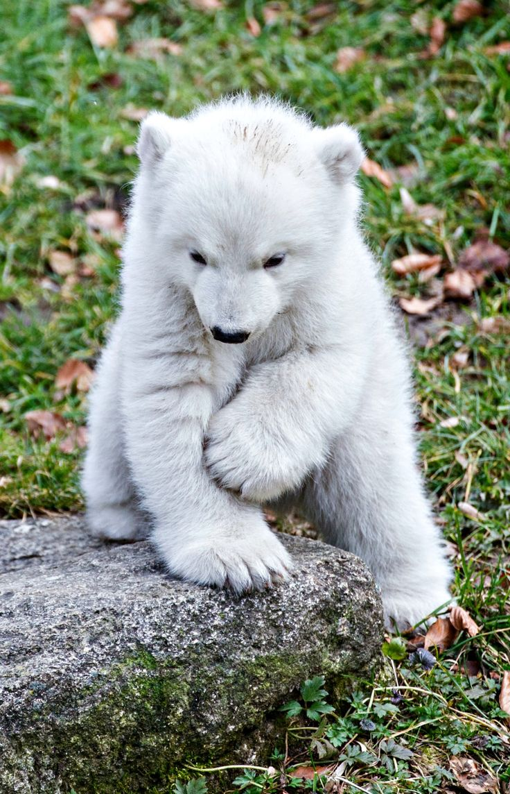 Polar Bear Cub Emerges From Den and Explores Everything