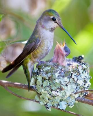 Hummingbird with Nest <3