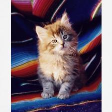 Fuzzy grey tabby Kitten for #caturday  and #cutenessoverload http://www.cafepress.com/bjasmine/428813