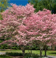 Pink Dogwood. 15-25 ft. high, 15-25 ft. spread. Pink flowers start lighter in color, and then get slightly deeper as the tree ages. In autumn, the green leaves turn a fiery red. Gray stems with a bright red fruit and a cinnamon checkered bark offer winter interest, especially with a snowfall.