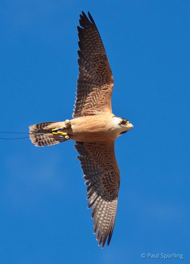 Taita Falcon Falco fasciinucha - Google zoeken