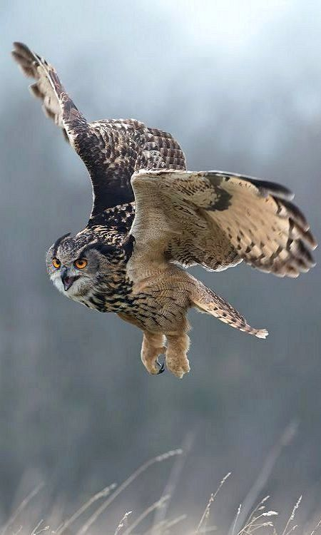 Eagle Owl - In Flight