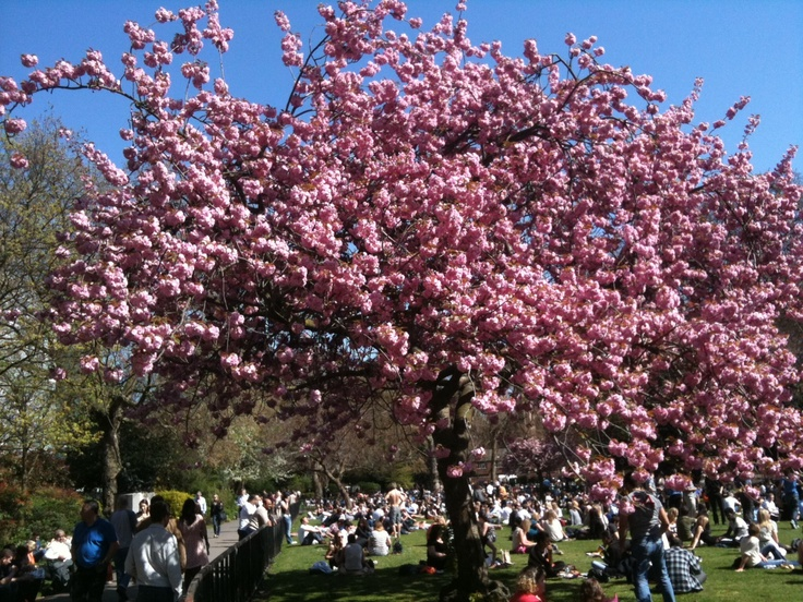 The first weekend of SPRIIIING! Celebrate with Catch The Blossom, an exhibition on haiku and cherry blossom http://bit.ly/GKsxMu Happy weekend all!: Cherries Blossoms, Blossoms Httpbitlygksxmu, Blossoms Http Bit Ly Gksxmu, Cherry Blossoms