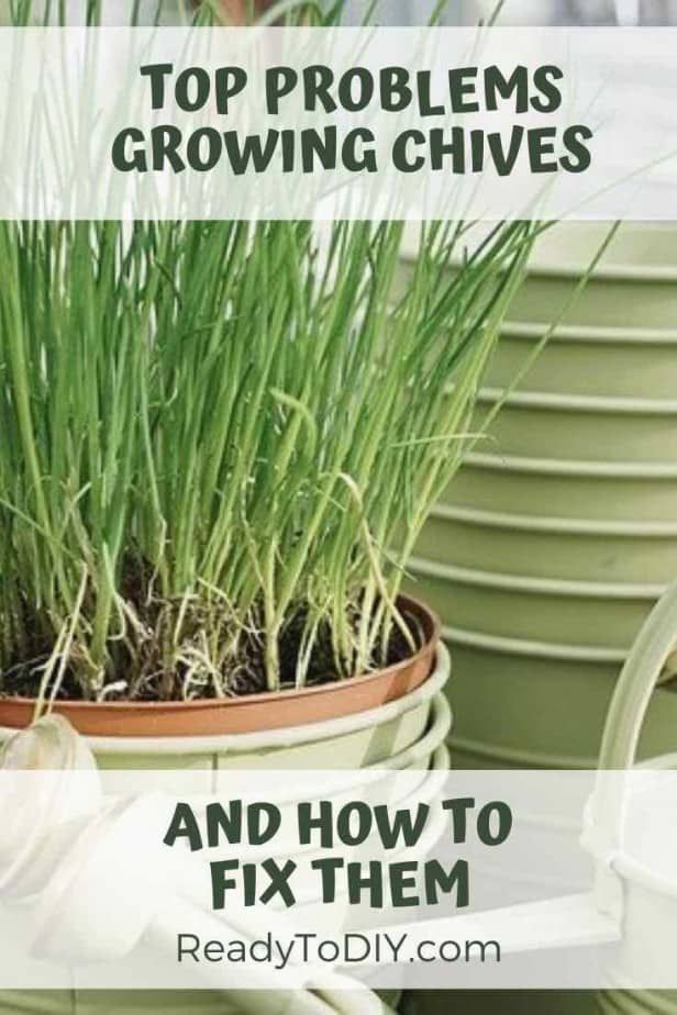 Top Problems Growing Chives And How To Fix It Ready To Diy Growing Chives Chives Plant Easy Herbs To Grow
